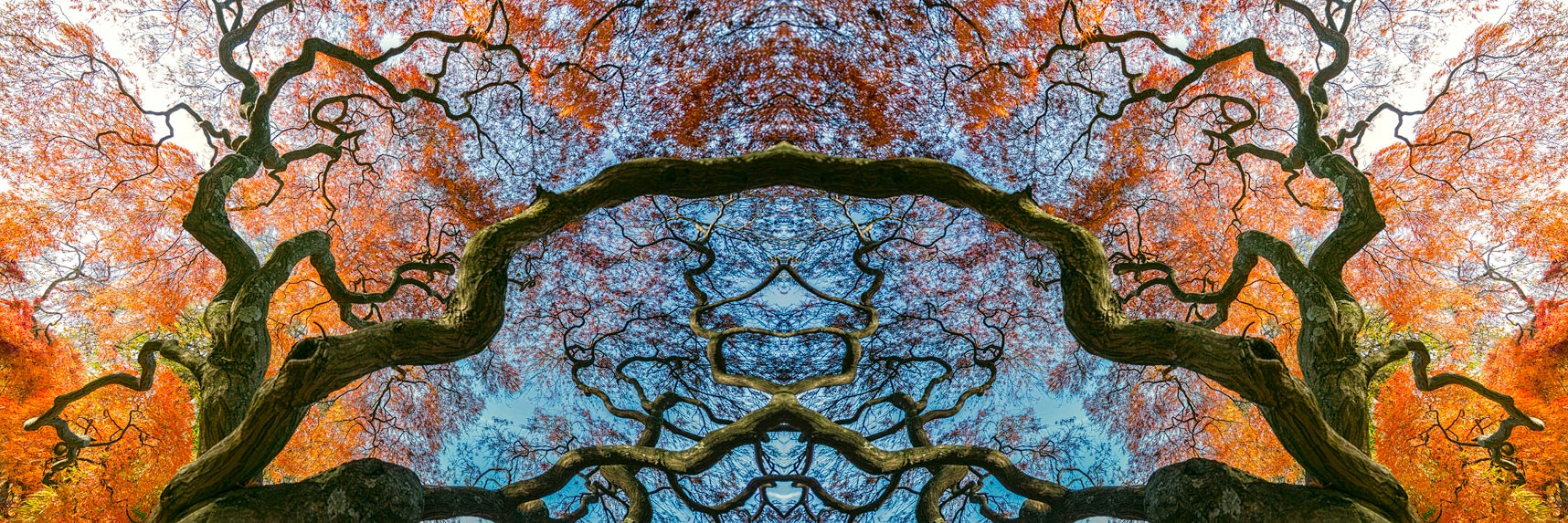 kaleidoscope Japanese maple trees branches fall leaves orange